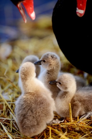 Black swan parents dote on their brand new cygnets.